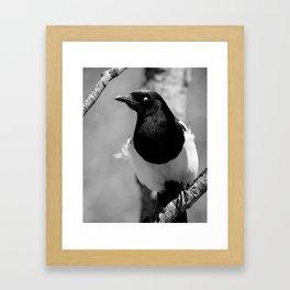 Black-billed Magpie Blinking Framed Art Print