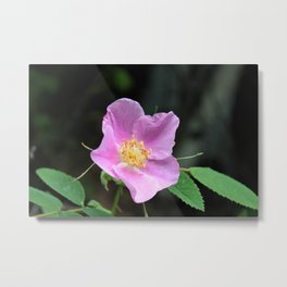 Pale Pink Wild Rose Metal Print