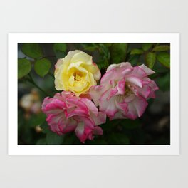3 Multi Color Roses Rosebuds in Full Bloom Pink and Yellow White Art Print