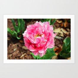 Double Late Tulip Art Print