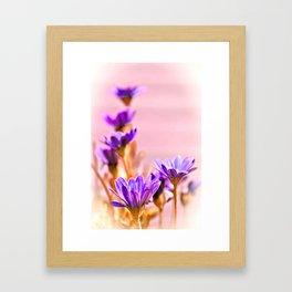 Osteospermum flowes Framed Art Print