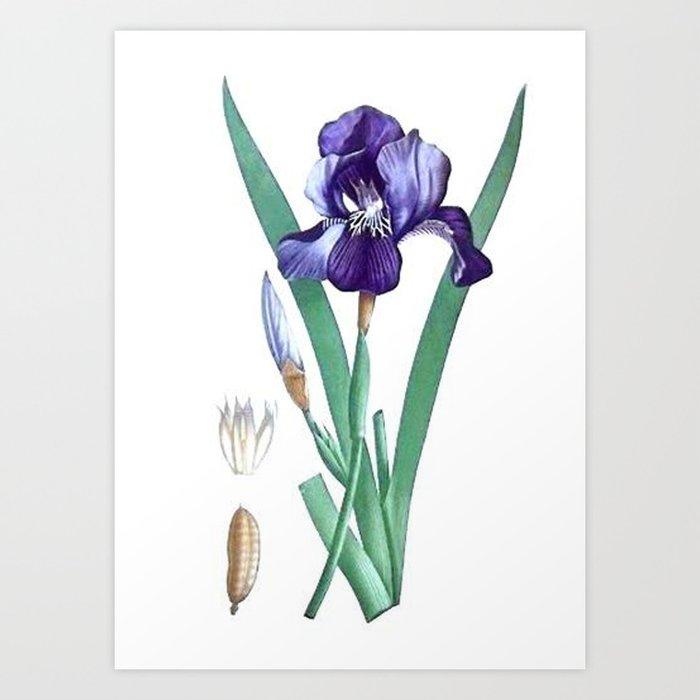Vintage Botanical Purple Iris Flower Art Print