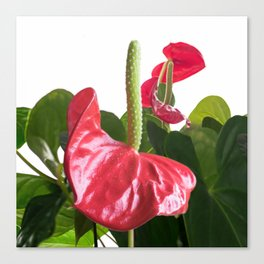 Anthurie Canvas Print