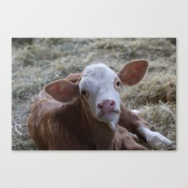 Cutie Calf Canvas Print
