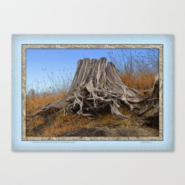 WEATHERED STUMP AND ROOTS ON BEACHSIDE BLUFF Canvas Print