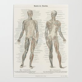 An antique lithograph of the human musculature system from the encyclopedia Meyers Konversations Lexikon (1894) Poster