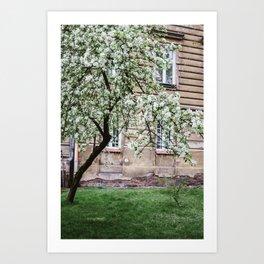 Spring Tree Blossoming In Krakow Art Print