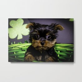 Closeup of a Tiny Yorkshire Terrier Puppy Sitting in a Green St. Patrick's Day Basket Metal Print