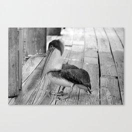Juvenile Brown Pelican Tale 2 Canvas Print