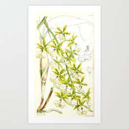 A orchid plant - Vintage illustration Art Print