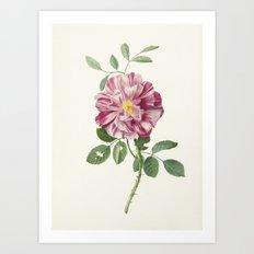 Vintage Botanical Rose Print Art Print