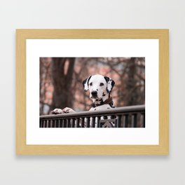 Dalmatian Dog Looking Out Over Gate Framed Art Print