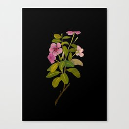 Vinca Rosea (Pentandria Monogynia) Mary Delany Vintage Realistic Botanical Flower Art Canvas Print
