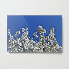 Beautiful White Blossoms and Blue Sky Metal Print