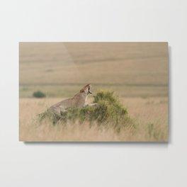 Lioness photo Metal Print