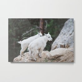 Baby Mountain Goats - Black Hills National Forest Metal Print
