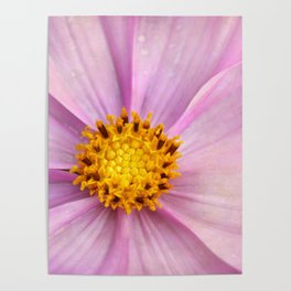 Pink Cosmo Poster