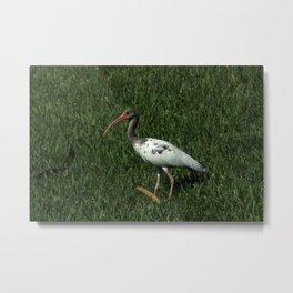 Juvenile American White Ibis Metal Print