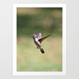 Ruby Throat Humming Bird 2 Art Print