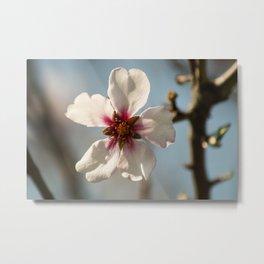 Almond tree flower in spring Metal Print