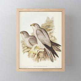 Gray falcon (Falco Hypoleucus) illustrated by Elizabeth Gould (1804–1841) for John Gould's (1804-188 Framed Mini Art Print
