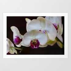 Orchid Blanche Art Print