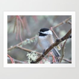 Chickadee in the Alder Tree Art Print