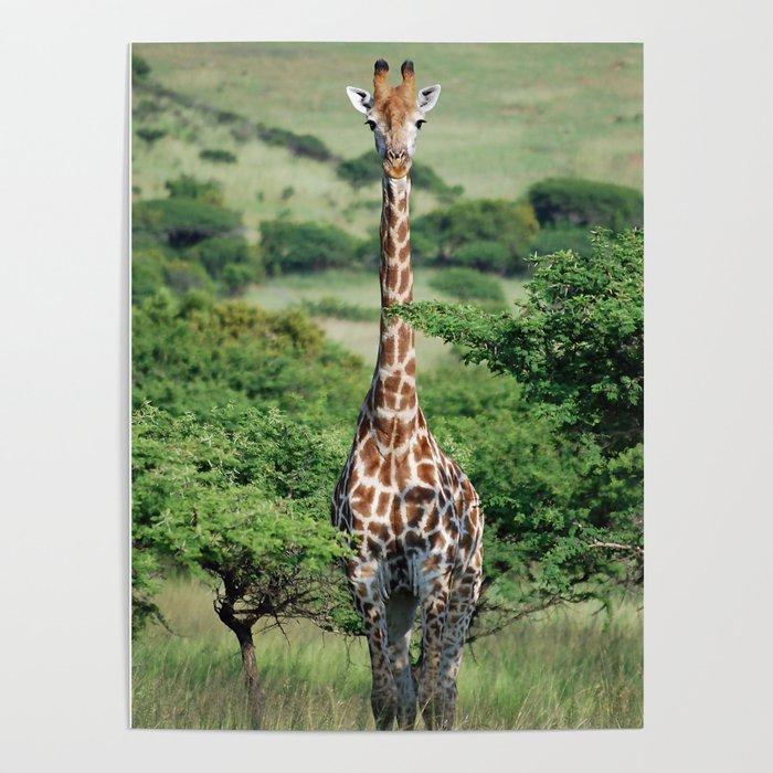 Giraffe Standing tall Poster