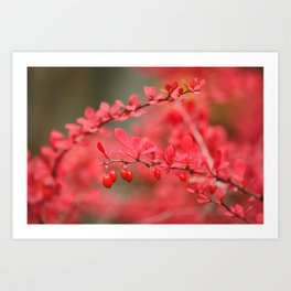 Close-up of red barberry in autumn Art Print