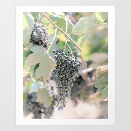 Grapes Wine Farm Crete, Greece   Travel Photography Print Light Colors Art Print