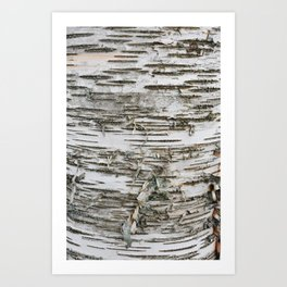 Birch Tree 2 Art Print