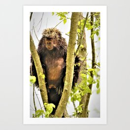 """Porcupine in a Tree  """"A Prickly Situation"""" by Reay of Light Art Print"""