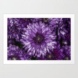 Purple Mums Art Print