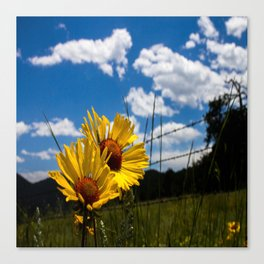 A Rocky Mountain Sunflower Canvas Print