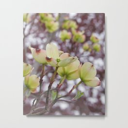 yellow dogwood flowers on black maple bokeh Metal Print
