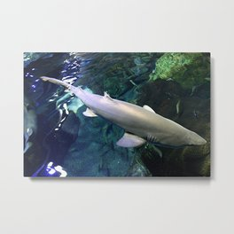 Shark from above Metal Print