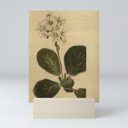 Flower saxifraga ligulata26 Mini Art Print