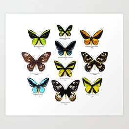 Butterfly012_Ornithoptera Set1 on White Background Art Print