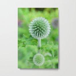 Green (un-opened) Globe Thistle Flower Metal Print