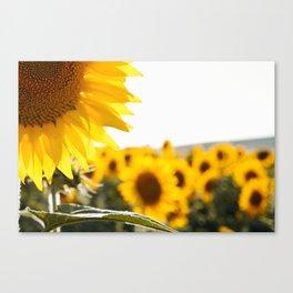 Sunflower's Season (I) Canvas Print