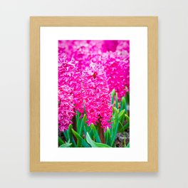 Macro shot of spring flower pink hyacinth. Shallow depth of field Framed Art Print