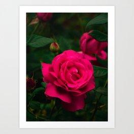 Beautiful blooming hybrid rose Grande Dame flower Art Print