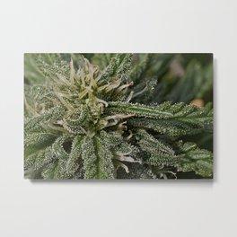 Cannabis Bud Metal Print