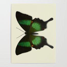 Papilio arcturus Poster