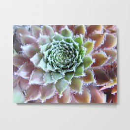 Plant Hen and Chick II Metal Print