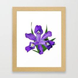 Dwarf crested Iris, Iris cristata on white Framed Art Print