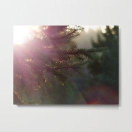 Sunlit Fir Trees Metal Print