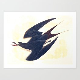 Sooty Tern John James Audubon Scientific Illustration Birds Of America Drawings Art Print
