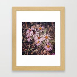 Colorado Purple Asters Framed Art Print