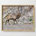 Wapiti Bugling (Bull Elk) by nancyacarter
